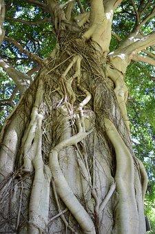 Kirstenbosch Botanical Gardens, Cape Town, Tree, Roots