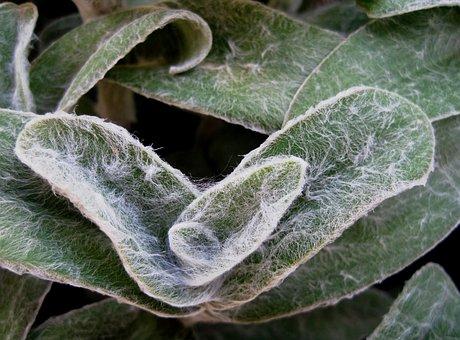 Stachys Byzantina, Leaves, Light Green, Hairy, Fluffy
