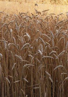 Wheat, Corn, Ears, Grains, Mature, Field, Harvest