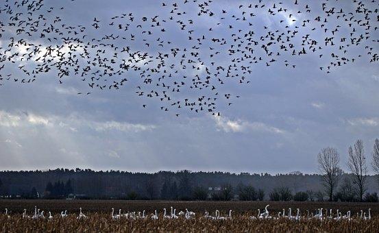 Geese, Flock Of Birds, Migratory Bird, Swarm, Bird