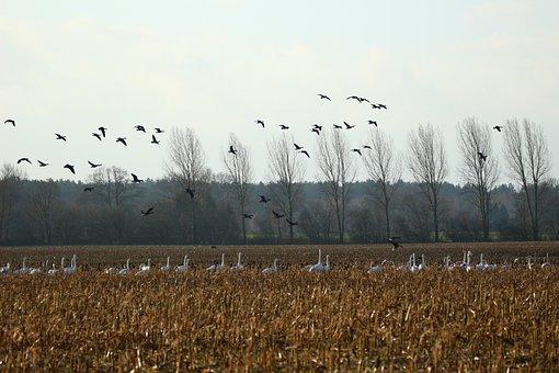 Geese, Whooper Swan, Bird, Swans, Goose, Migratory Bird