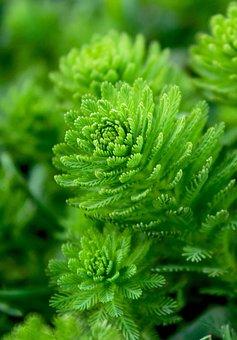Water Plant, Moss, Oxygenator, Algae, Anenome, Aquatic
