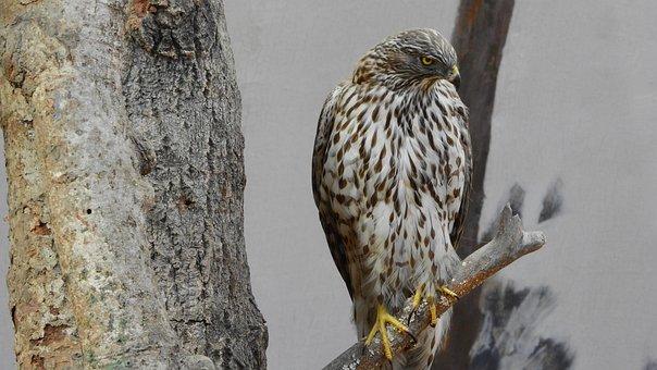 Bird Of Prey, Stuffed, Museum, Exhibit, Predator