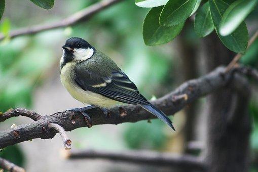 Nature, Animal, Bird, Titmouse, Little Bird
