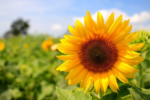 Thailand, Sunflower, Yellow, Farming, Nature