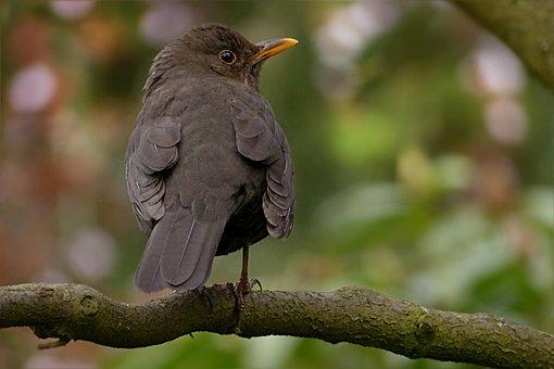 Throttle, Turdus Philomelos, Bird, Songbird, Black