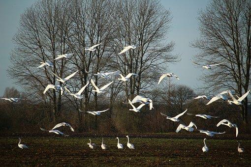 Swan, Whooper Swan, Flock Of Birds, Flight