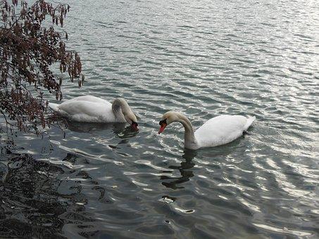 Swan, Water, Swans, Bird, Lake, Water Bird, Waterfowl