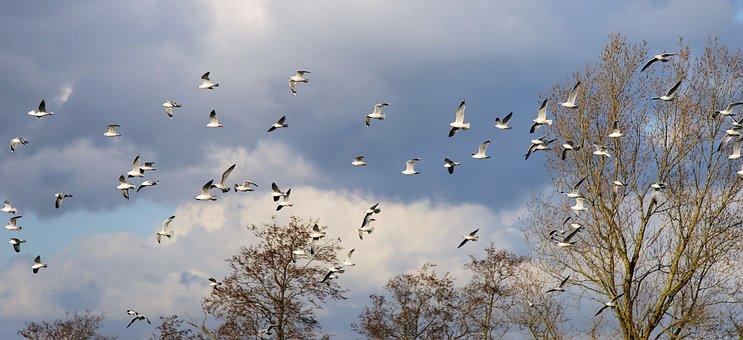 Birds, Gulls, Swarm, Fly, Animals, Free, Flight