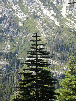 Pine Tree, Tree, Pine, Forest, Outdoors, Scenery