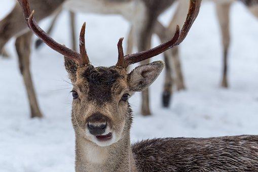 Hirsch, Red Deer, Antlers, Horns, Deer, Animal