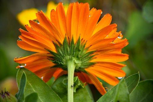 Flower, Marigold, Petals, Stem, Dew Drops, Herb, Garden