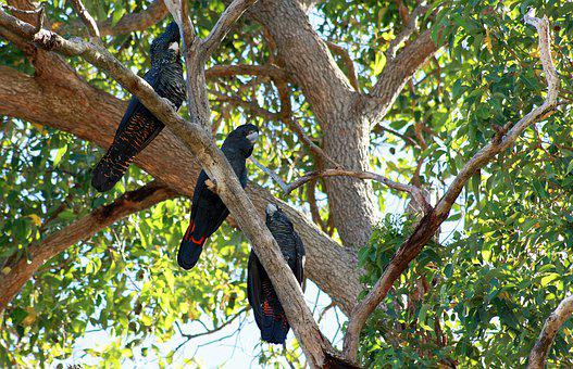 Forest Red Tailed Black Cockatoo, West Australia