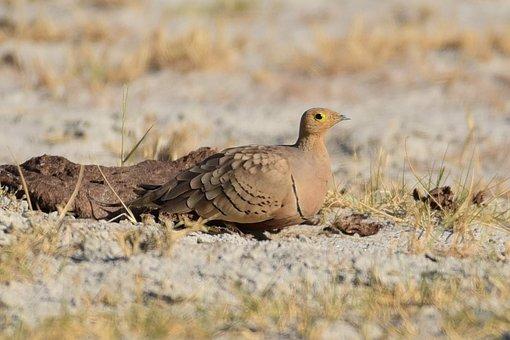 Bird, Sand Courser, Desert, Beak, Feathers, Plumage
