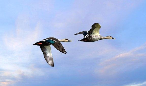 Ducks, Birds, Spot Billed Ducks, Flying, Wings
