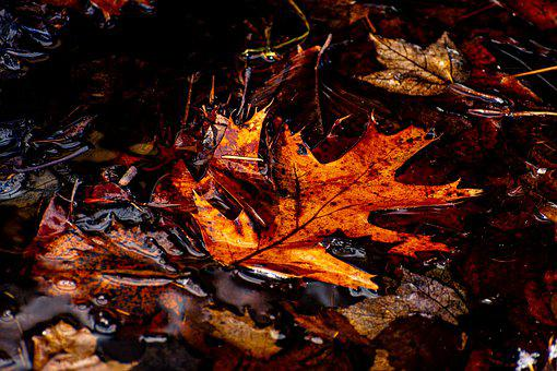 Leaves, Maple, Foligae, Water, Wet, Autumn, Fall