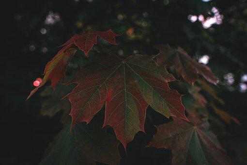 Leaf, Leaf Veins, Maple Leaf, Maple Tree, Tree, Nature