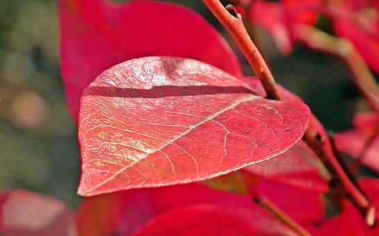 Leaf, Autumn, Blueberry Red, American, Nature, Closeup