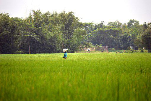 The Village, Paddy, Rice, Landscape, Agriculture