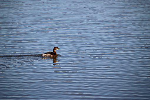 Duck, Water, Ripples, Feather, Animal, Cute, Small