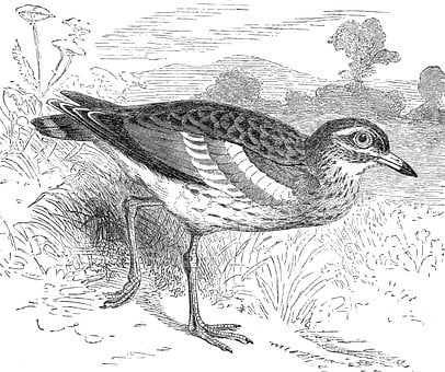 Bird, Stone Curlew, Thick-knee Curlew, Engraving