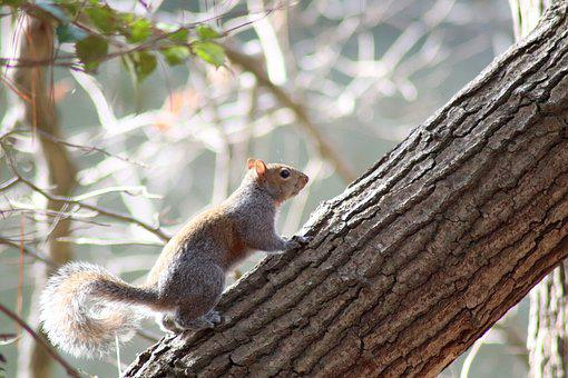Gray Squirrel, Rodent, Chipmunk, Tree, Trunk, Tail