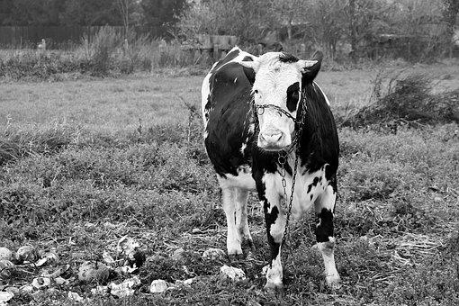 Cow, Pasture, Farm, Bull, Cattle, Livestock, Animal