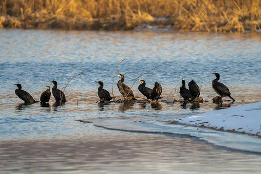 Cormorants, Birds, Lake, Animals, Aquatic Birds