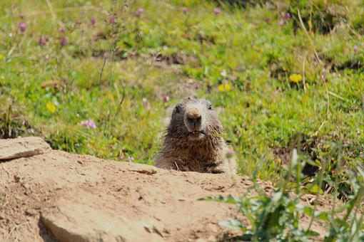 Marmot, Alpine, Rodent, Alpine Marmot, Animal World