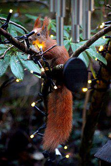 Squirrel, Red Squirrel, Sciuridae, Sciurus Vulgaris
