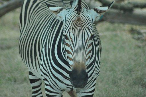 Zebra, Animal, Safari, Mammal, Equine, Stripes