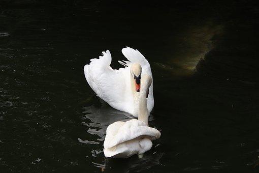 Swans, Couple, Pond, Birds, White Swans, Anatidae