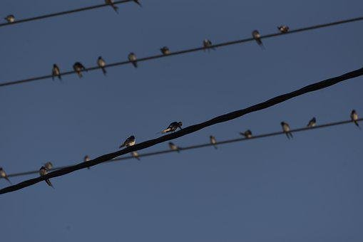 Swallows, Birds, Swallow, Animal, Flying, Nature
