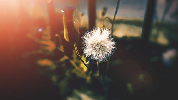 Dandelion, Seeds, Plant, Fluffy, Stem, Flora, Botany