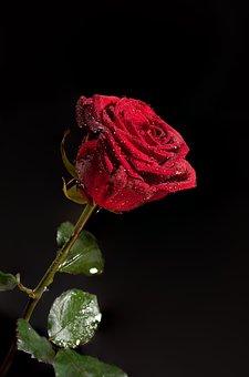 Red, Rose, Flower, Wedding, Love, Floral, Romance, Gift