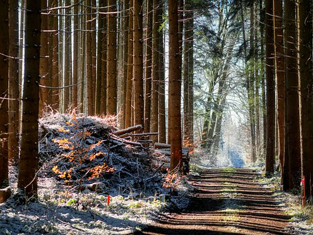 Forest Path, Snow, Trees, Forest, Tree Trunks, Winter