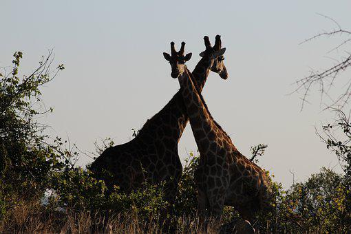 Giraffe, Safari, Africa, Mammals, Nature, Wild