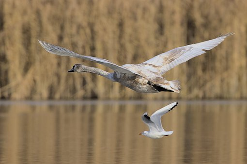 Swan, Seagull, Flying, Young Animal, Gull, Birds