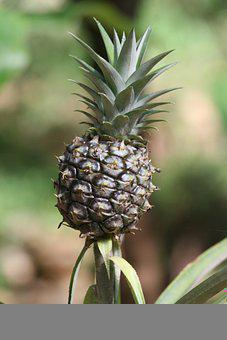 Pineapple, Fruit, Plant, Tropical, Healthy, Organic