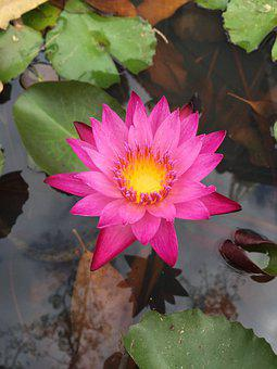 Water, Lily, Flower, Pond, Bloom, Purple, Nature, Lotus
