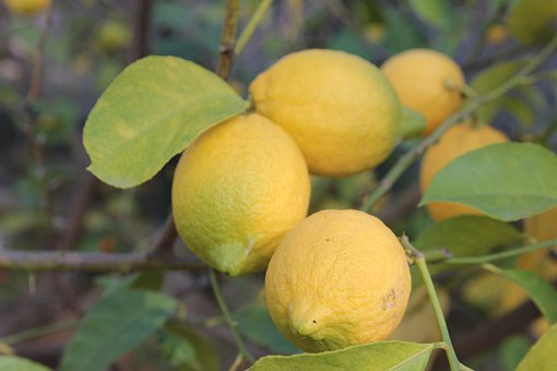 Lemons, Lemon Tree, Lemon, Fruits, Citrus Fruits