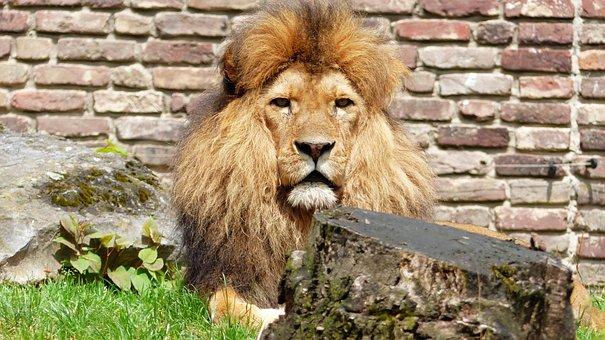 Snapshot, Lion, Zoo, Lion Snapshot, Zoo Snapshot