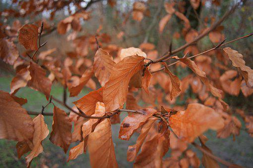 Autumn Leaf, Beech, Fall Colors, Brown, Dry, Tree