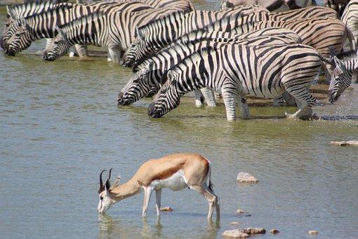 Zebra, Springbok, Waterhole, Etosha, Drinking