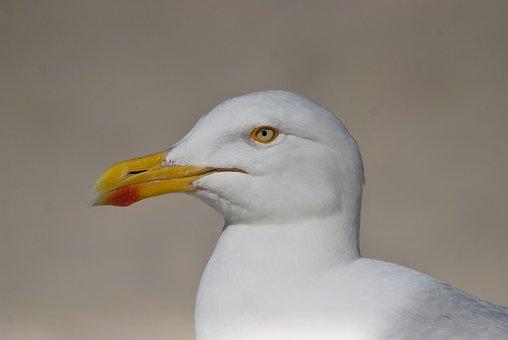 Herring Gull, Seagull, Seevogel, Bird, North Sea