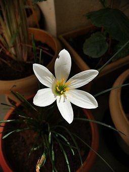 Flower, Petals, Garden, White, Pink, Poppy, Gradient