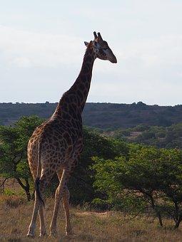 Giraffe, South Africa, Giraffes, Safari, Nature