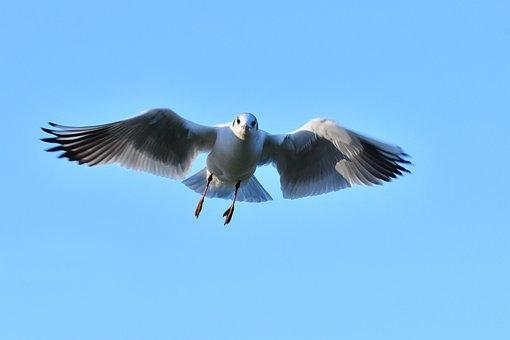 Seagull, In Flight, Bird, Sky, Blue, Animal