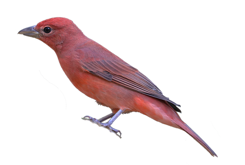 Bird, Colorful, Transparency, Isolation, Summer Tanager