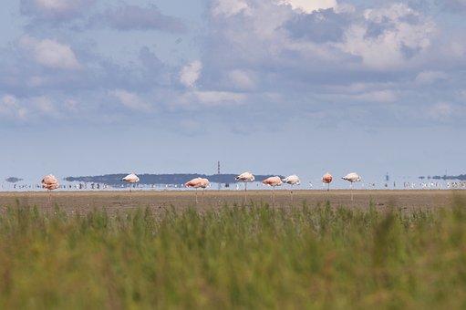 Flamingo, North Sea, Watts, Wadden Sea, Sea, Coast